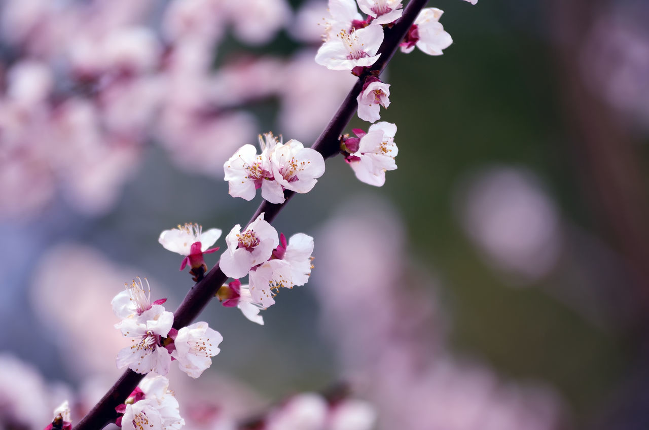 flower, fragility, beauty in nature, cherry blossom, blossom, growth, freshness, nature, apple blossom, springtime, botany, cherry tree, branch, apple tree, orchard, white color, day, petal, close-up, no people, tree, pink color, twig, focus on foreground, plum blossom, outdoors, blooming, flower head