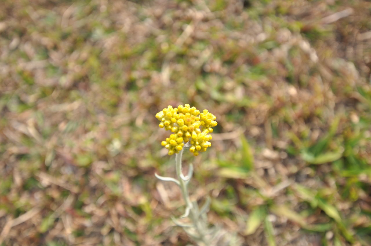 nature, growth, flower, plant, field, yellow, beauty in nature, fragility, no people, outdoors, day, close-up, freshness, blooming, flower head
