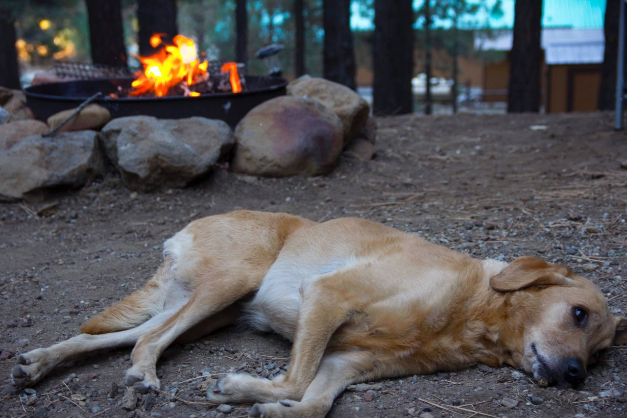 Lazy days by the camp fire Dog Focus On Foreground Outdoors Flame