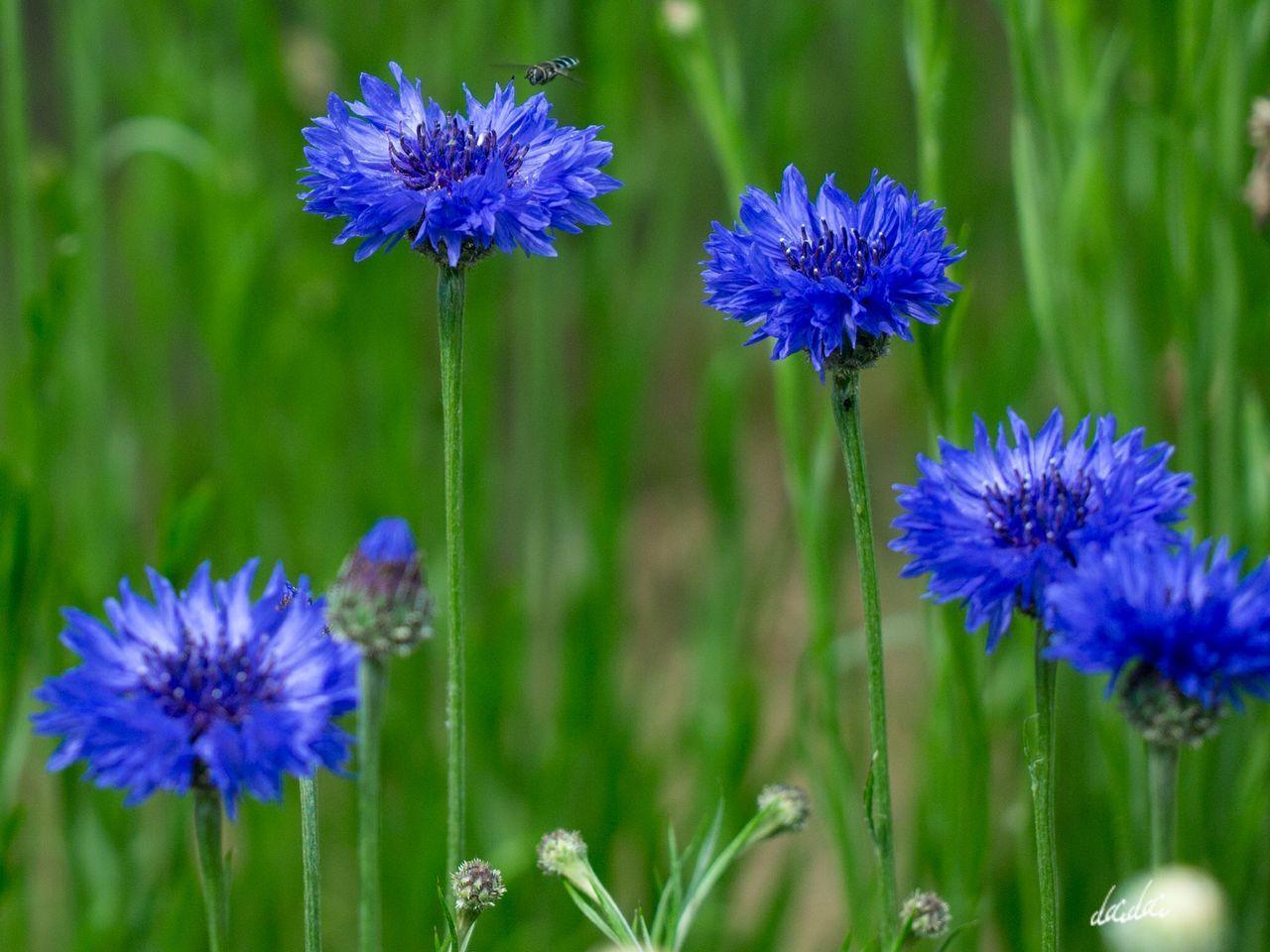 イライラしたことなんかさっさと忘れてしまいましょう E-PL3 Nature The Great Outdoors - 2017 EyeEm Awards 花 Flower Beauty In Nature RAW 編集 Blue 海の中道海浜公園 矢車菊