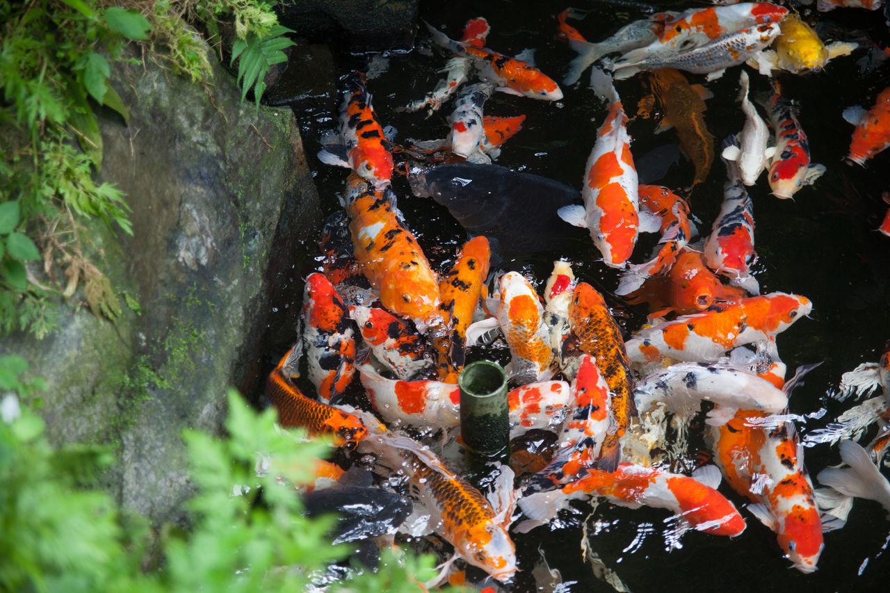 Beautiful stock photos of fish, Animal Themes, Animals In The Wild, Carp, Day