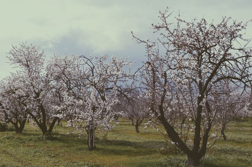 Almond Blossom Fields Bare Tree Beauty In Nature Branch Cloud Cloud - Sky Cloudy Day Field Grass Growth Idyllic Landscape Nature No People Non-urban Scene Outdoors Remote Rural Scene Scenics Single Tree Sky Tranquil Scene Tranquility Tree Tree Trunk