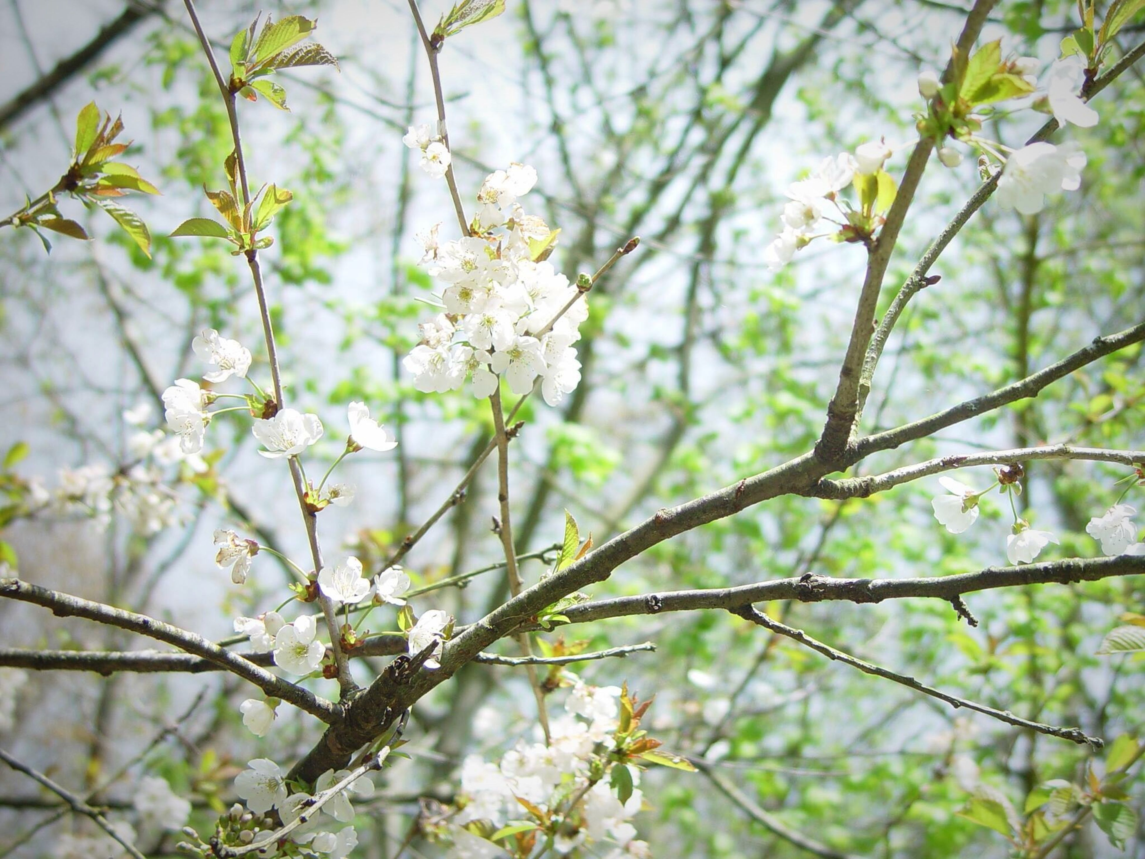 flower, branch, growth, freshness, tree, nature, beauty in nature, focus on foreground, fragility, twig, close-up, white color, blossom, low angle view, plant, outdoors, day, blooming, springtime, no people