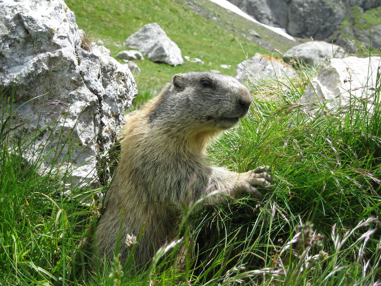 Close-Up Of Groundhog On Grassy Field