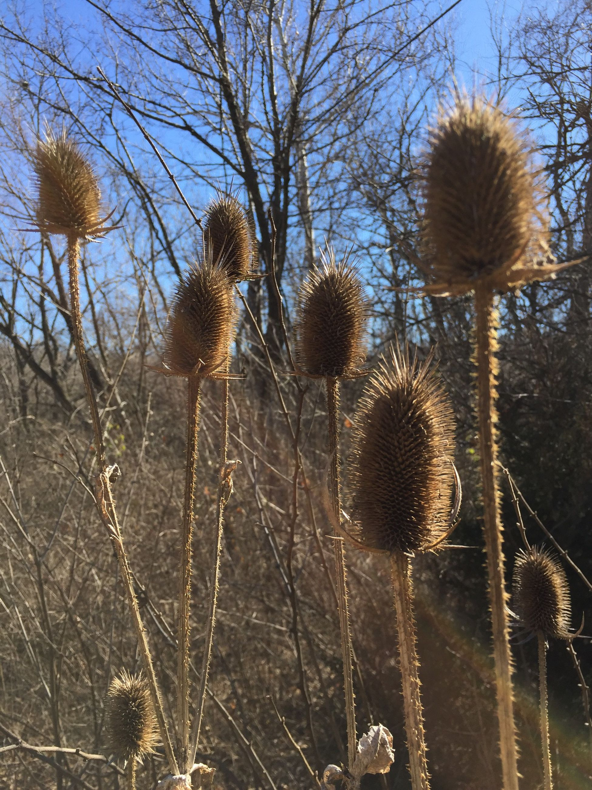 Thistle And Weeds Nature Blue Sky