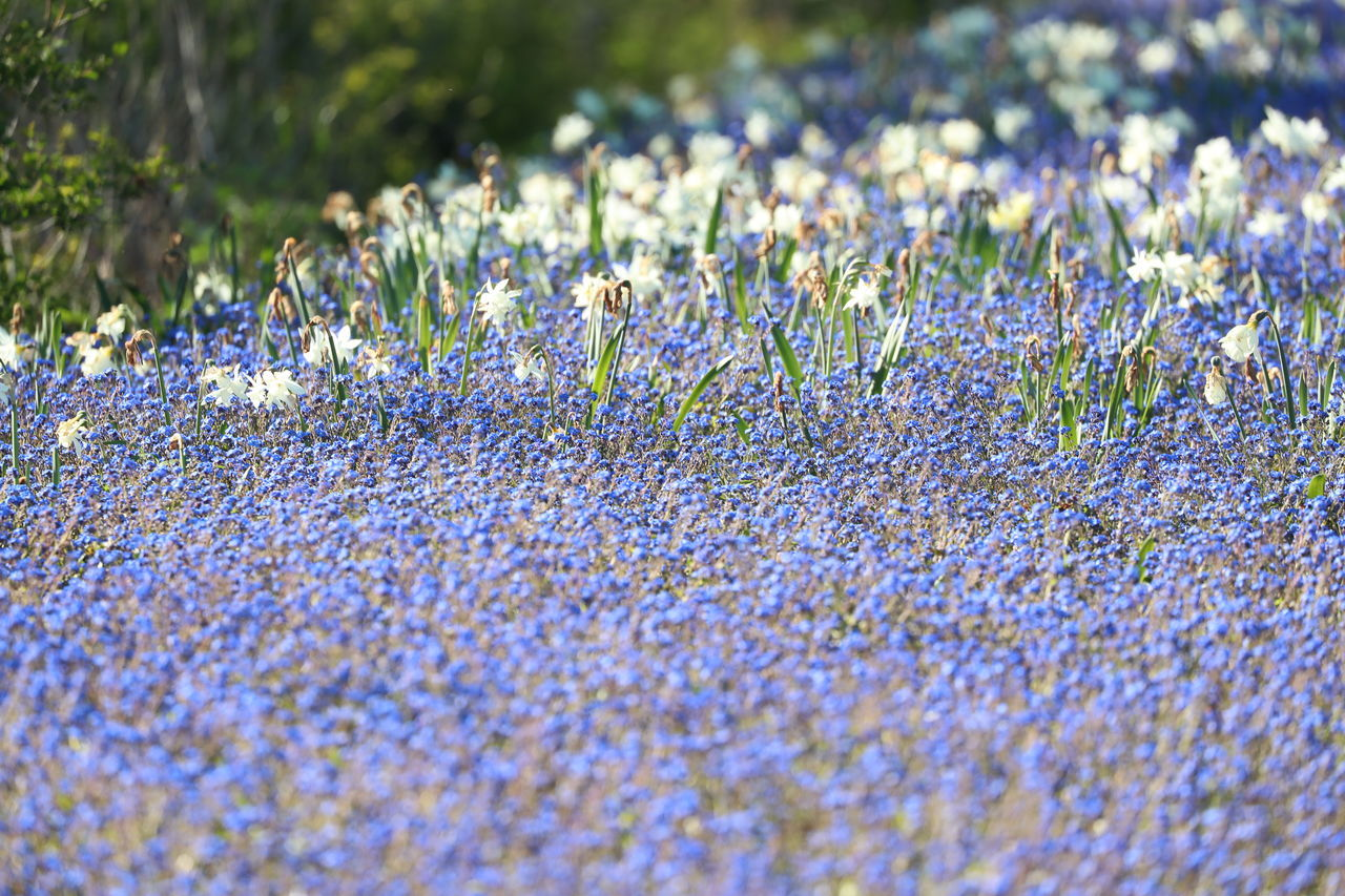 Beauty In Nature Blue Wave Close-up Day Field Flower Fragility Freshness Grass Growth Meadow Nature No People Outdoors Plant Sea Of Flowers Selective Focus Tranquility