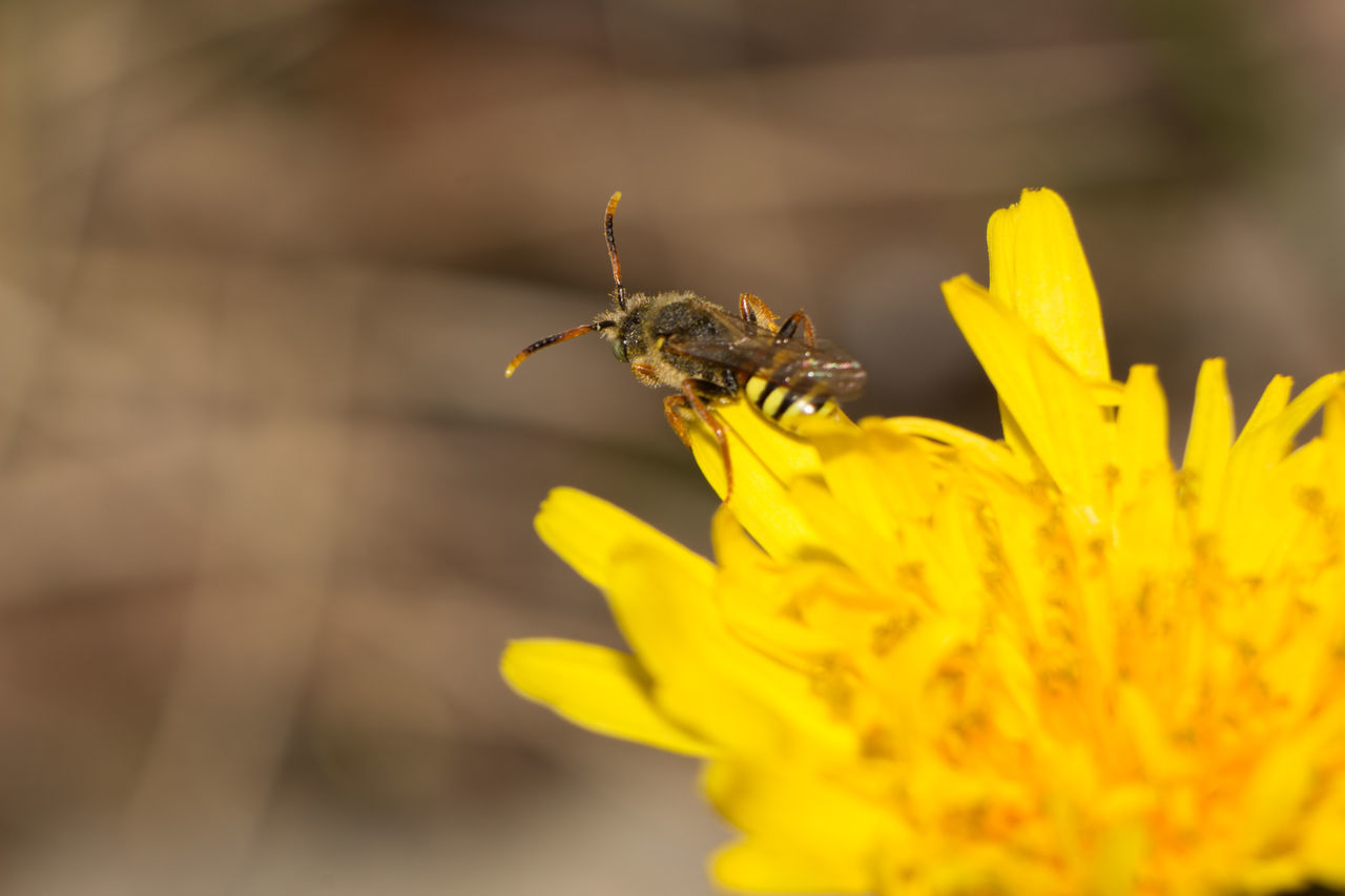 one animal, animals in the wild, animal themes, flower, insect, yellow, animal wildlife, nature, petal, outdoors, plant, day, fragility, close-up, no people, beauty in nature, freshness, growth, flower head