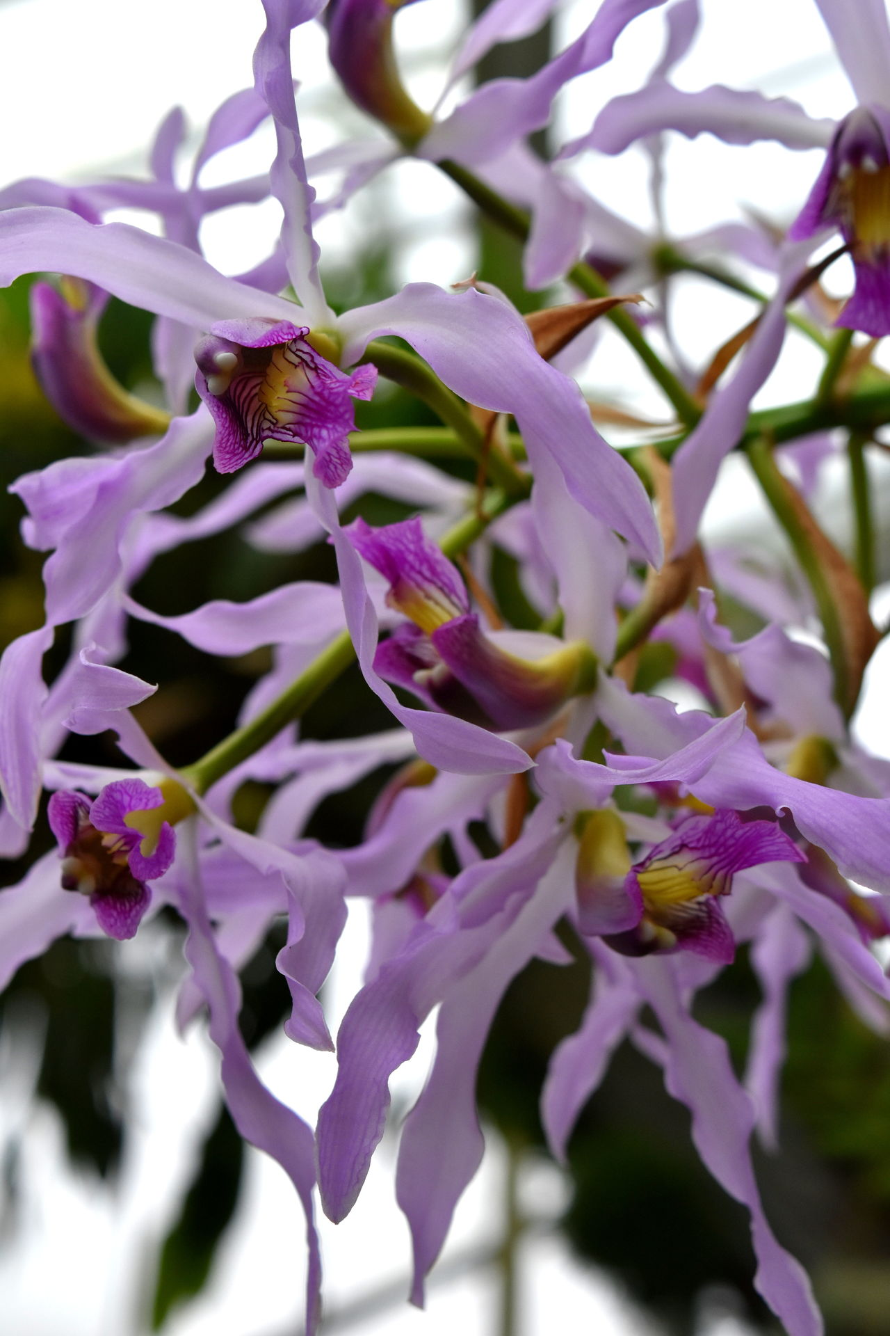 Beauty In Nature Close-up Flower Flower Head Fragility Freshness Growth Nature No People Orchid Orchid Blossoms Orchid Flower Orchids Petal Purple