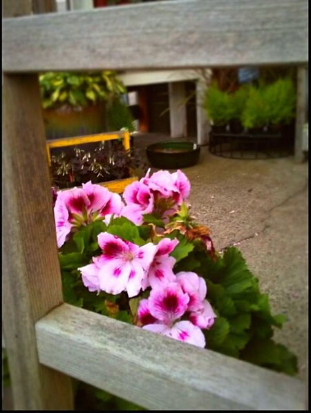 Flower Pink Color Outdoors Think Pink! Geraniums Fragility Wood - Material Freshness Built Structure Architecture Growth Focus On Foreground Close-up Flower Head Beauty In Nature Plant Pacific Northwest  Snapshots Of Life Portrait Photography Themes Getty Images Eyeem Market Original Experiences EyeEm Gallery Art Is Everywhere Break The Mold TCPM EyeEmNewHere Mobility In Mega Cities