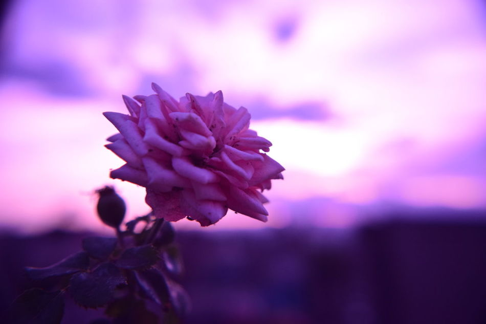 Rose🌹 Flower Macro Fld NIKON D5300 Macro_flower Pink Sky Nature Mexico Taking Photos Filter Flourishing Flourecent Floura Sunlight Sunset Silhouettes