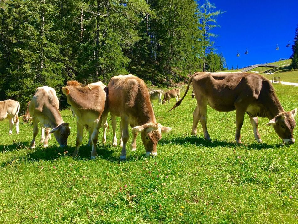 Nature Alps Grass Domestic Animals Animal Themes Green Color Mucca Cow Alps Italy Dolomites, Italy Dolomites Dolomiti San Candido Innichen