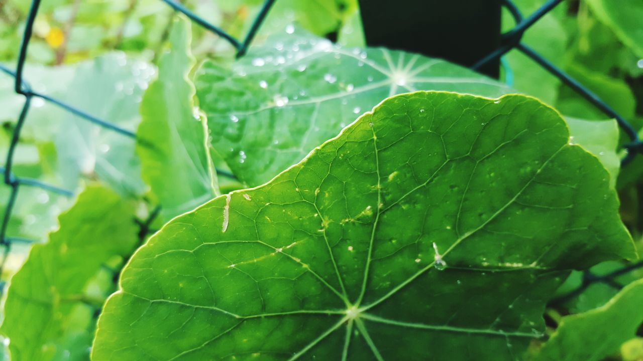 Leaf Green Color Nature Close-up Leaf Vein Plant Focus On Foreground No People Freshness Beauty In Nature Outdoors Wet Day Water Card Design Leafs Outdoor Detailphotography Beauty In Nature Detail Green Color After Rain Drops Outdoor Photography Freshness
