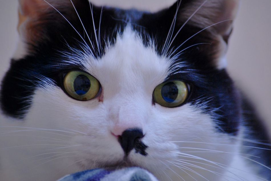 I Love My Cat Cat Lovers Cat Cat♡ Enjoying Life Beautifuleyes ちょび髭 ハチワレ Taking Photos EyeEm Animal Lover