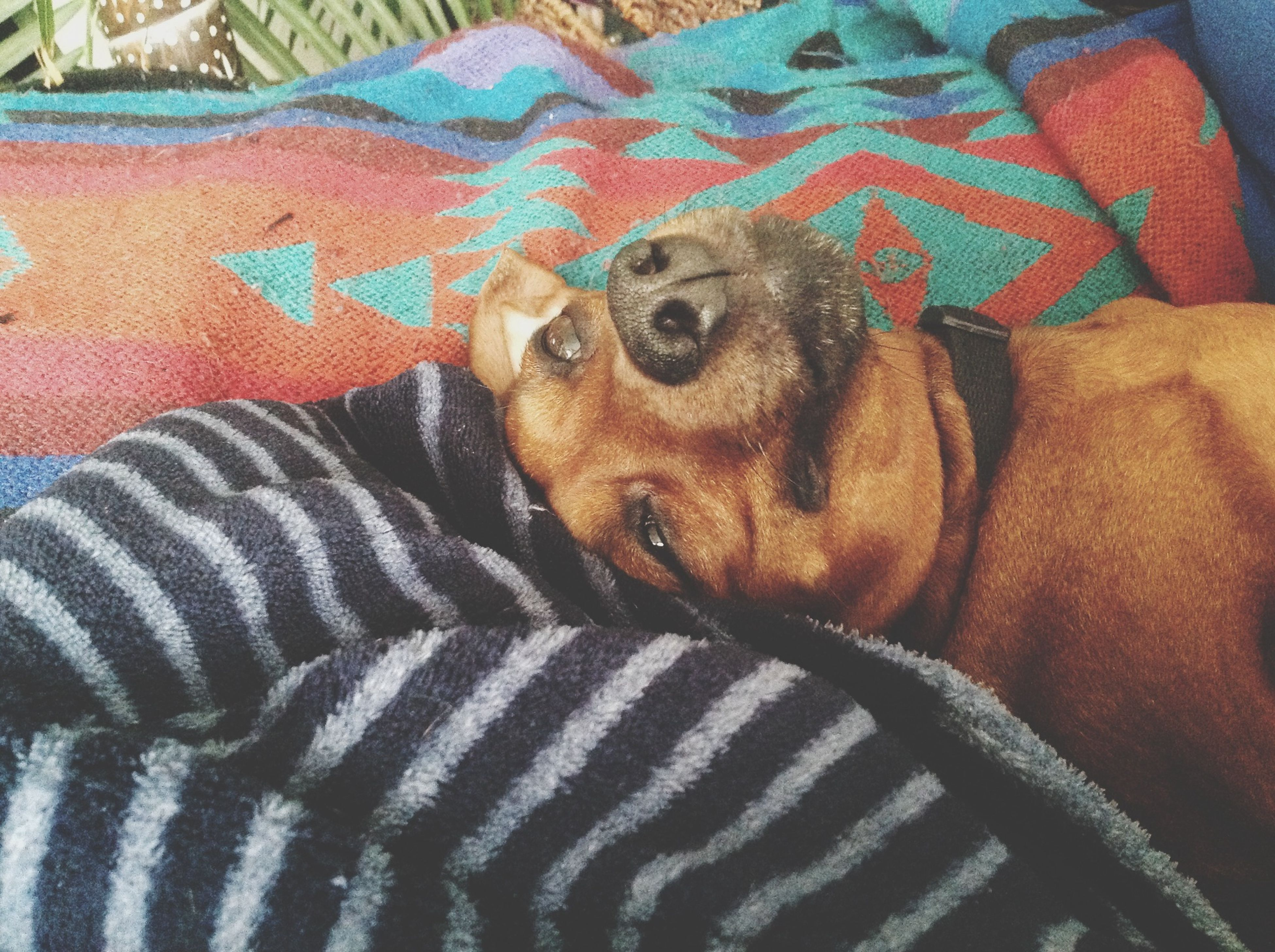 pets, domestic animals, indoors, relaxation, one animal, animal themes, bed, mammal, resting, lying down, dog, sleeping, blanket, sofa, comfortable, close-up, high angle view, home interior, relaxing, sheet