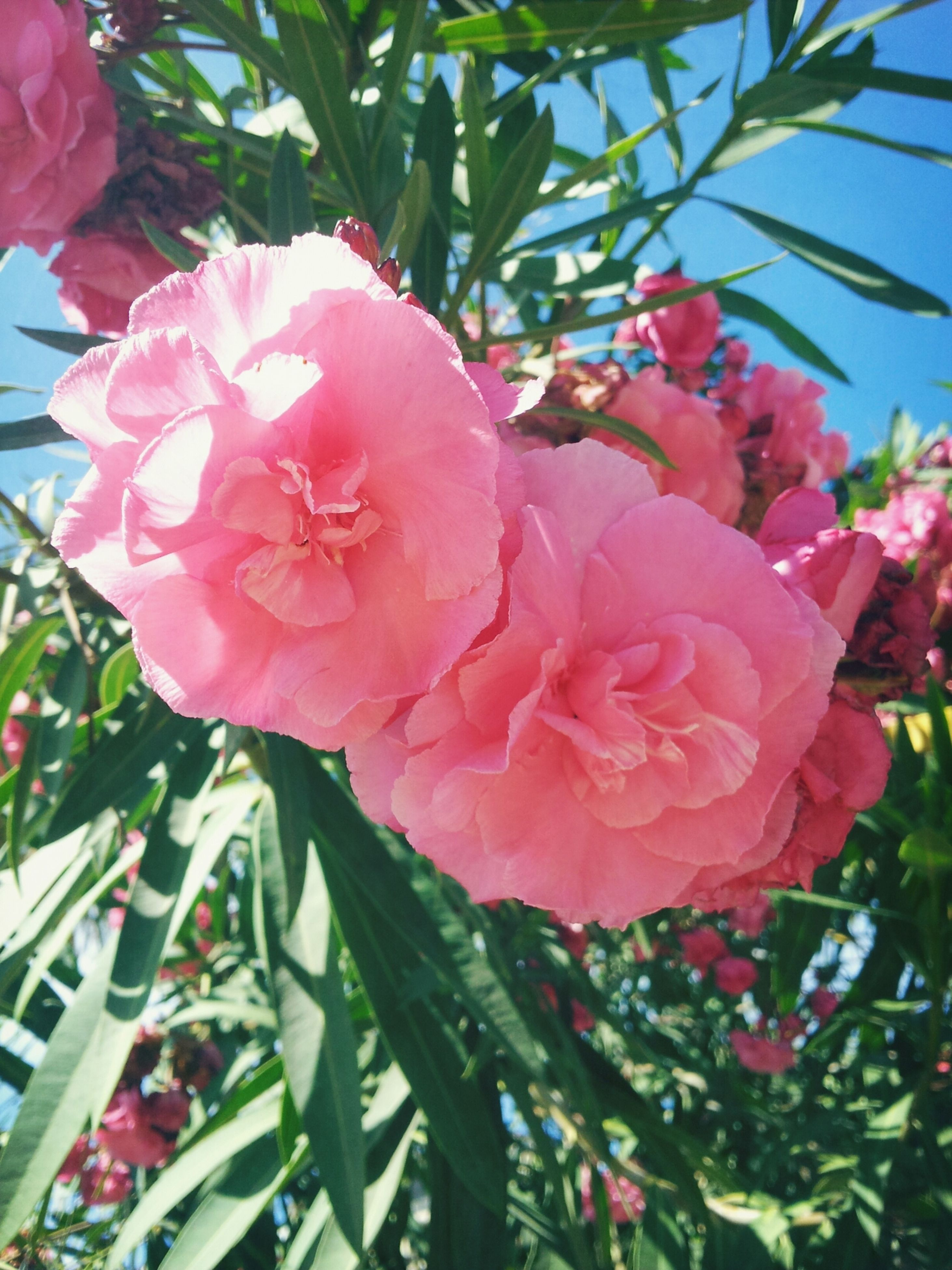 flower, freshness, fragility, growth, petal, pink color, beauty in nature, flower head, blooming, nature, low angle view, close-up, leaf, plant, in bloom, blossom, tree, branch, day, sunlight