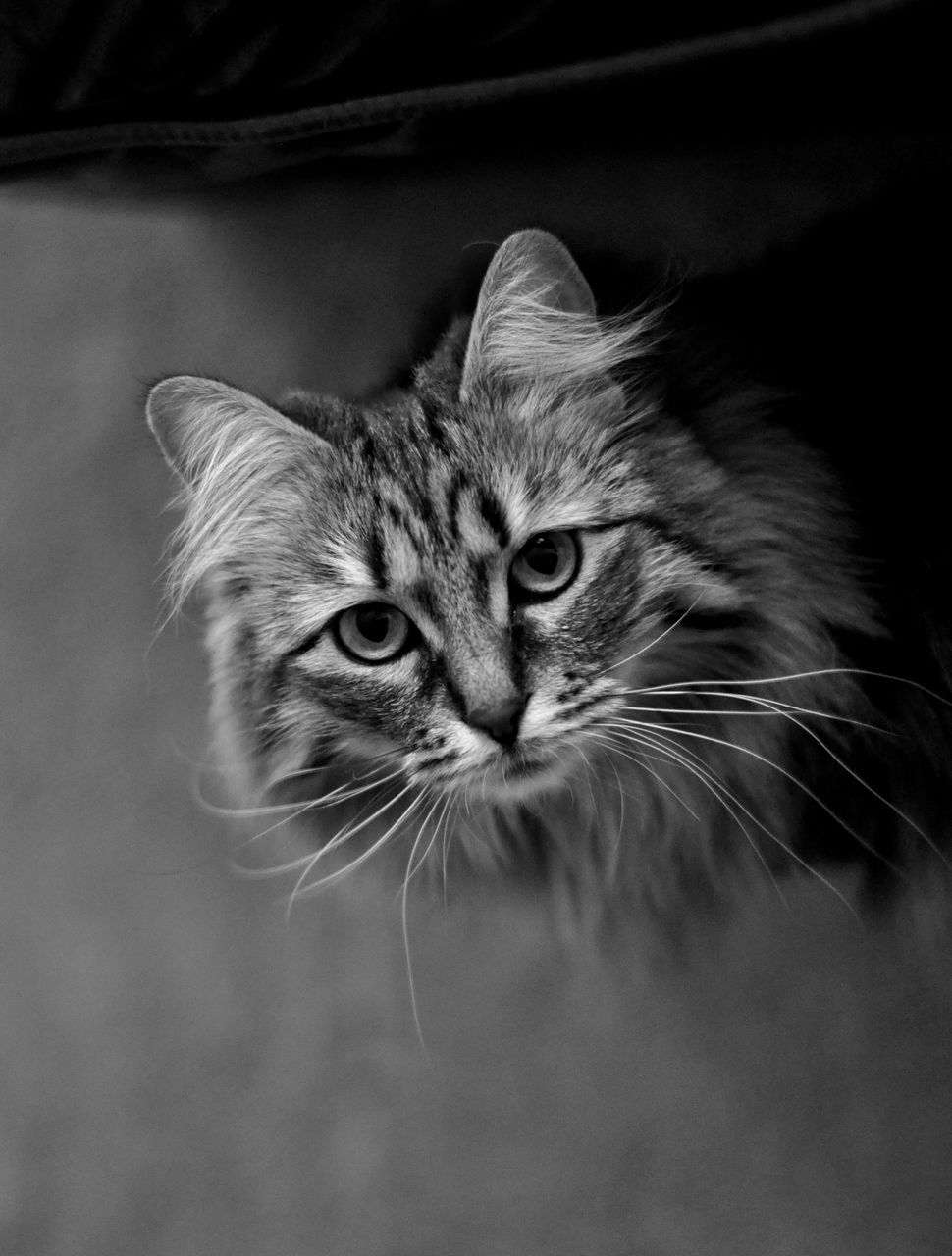 domestic cat, feline, whisker, one animal, animal themes, pets, domestic animals, mammal, close-up, no people, portrait, indoors, day