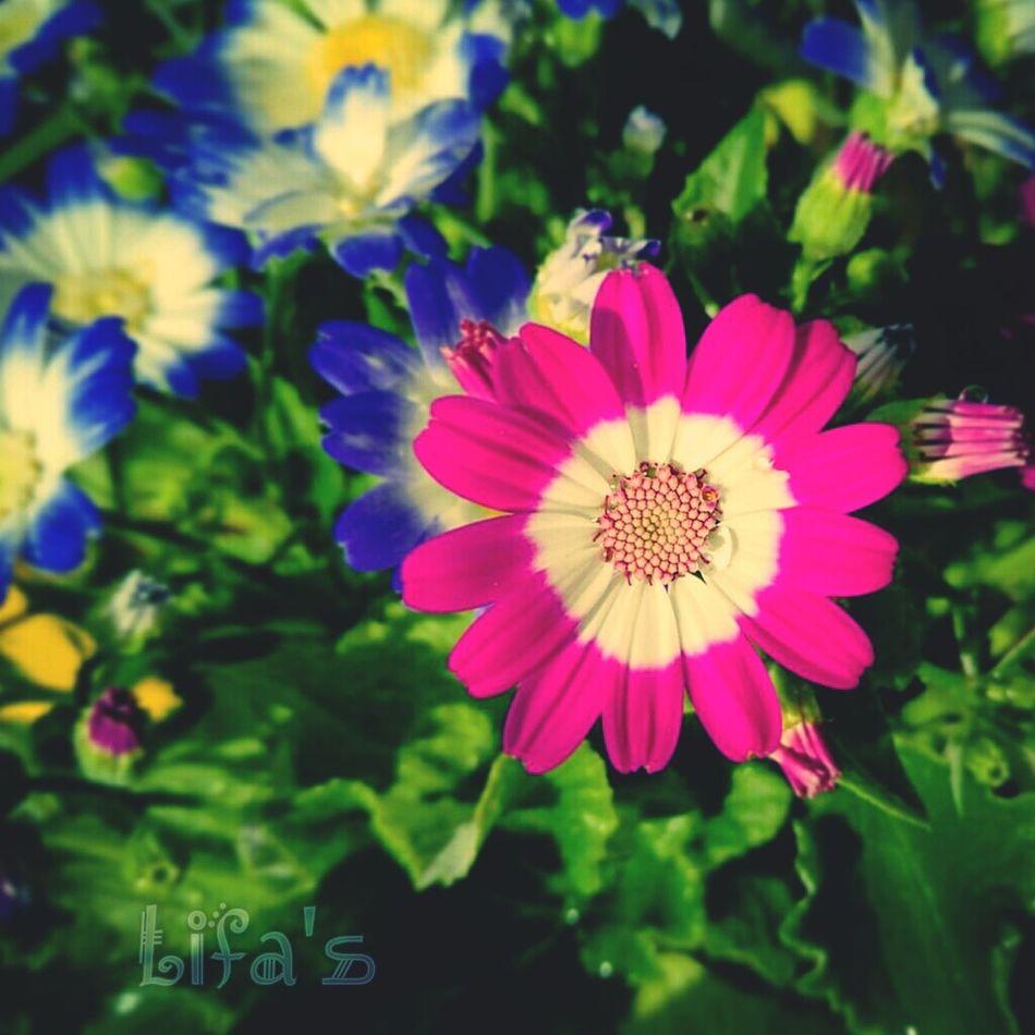 Colour Of Life 2nd Eyeem Photo 2ndEyeemPhoto Hotpink Flowers Flowers,Plants & Garden Flower Photography Flowers, Nature And Beauty 2nd Eyeem Photo,enjoying Life! ^_^ Secondeyeemphoto