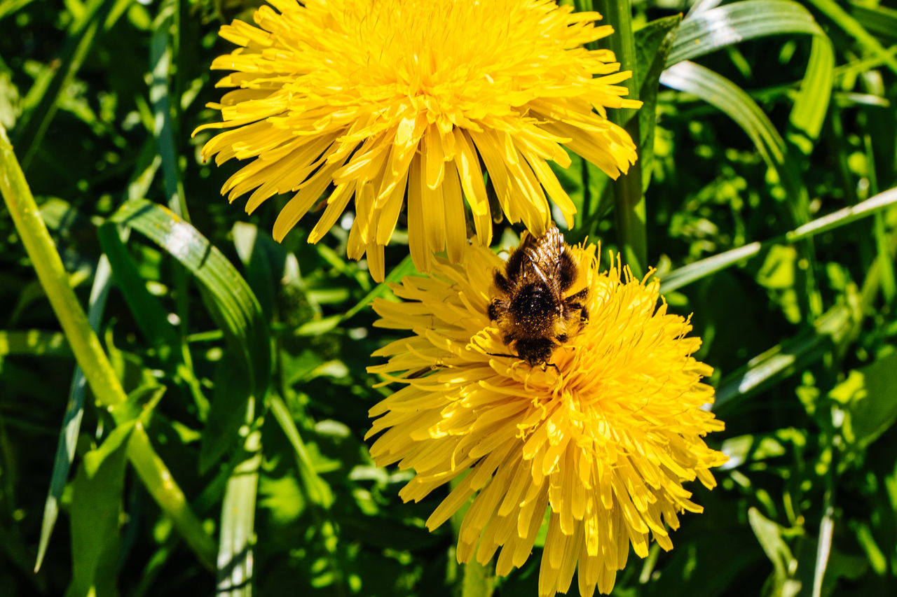 flower, yellow, petal, animal themes, insect, one animal, nature, fragility, freshness, beauty in nature, growth, animals in the wild, plant, bee, flower head, wildlife, pollination, honey bee, outdoors, animal wildlife, no people, day, pollen, bumblebee, close-up, blooming, buzzing, mammal