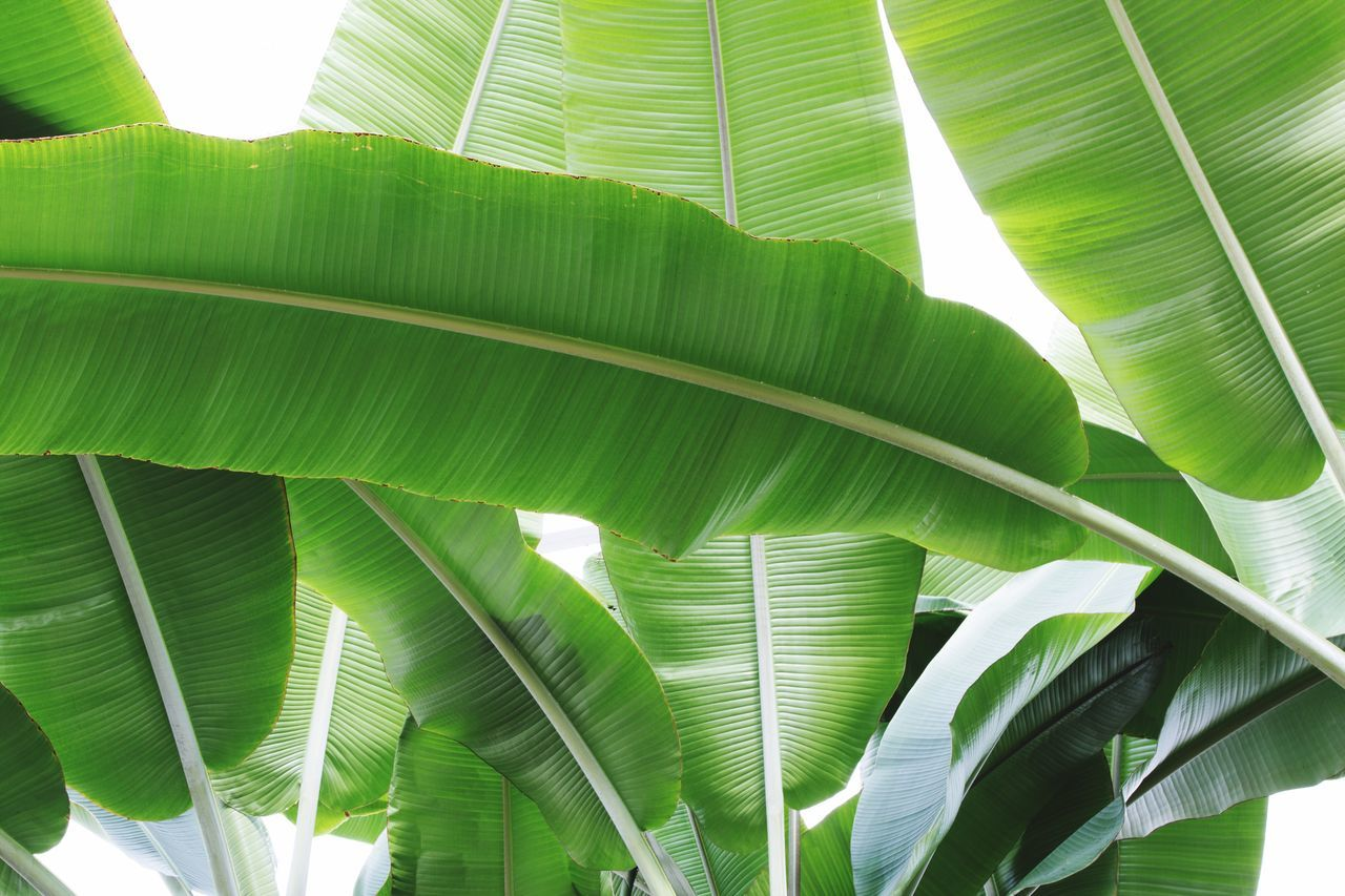 Leaf Green Color Banana Leaf Palm Leaf Banana Tree Growth Palm Tree Frond Nature No People Close-up Day Backgrounds Plant Tree Sunlight Freshness Beauty In Nature Outdoors