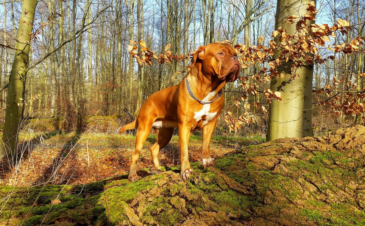 Dog Posing Dogs Showcase: February Forrest Photography Bordeauxdog Bordeauxdogge Amazing Dog Dogs In Nature Capture The Moment Nature Photography Eyem Best Shots EyeEm Best Shots Forrest Connected With Nature EyeEm Nature Lover Dogs Of EyeEm Dogslife Posing For The Camera Animals Posing Posing Dog Beautiful Dog Posing With My Dog Taking Photos Taking Pictures Perfect Shot