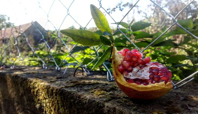 🏡 Pomegranate Pomegranate ❤ Green Lovely Atmosphere Fruits Lover Always Taking Photos Nature Nature_collection Alwayssobeautiful Photography Is My Escape From Reality!
