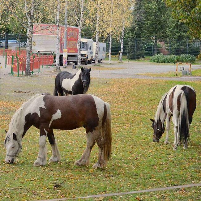Pari pollea löyty takapihalta 😂 Tiistaihin asti sirkus Kuopiossa! Sinne siis! Sirkusflorentino Hevoset Circus Suomi Finland Kuopio Weekend Autumn Horses