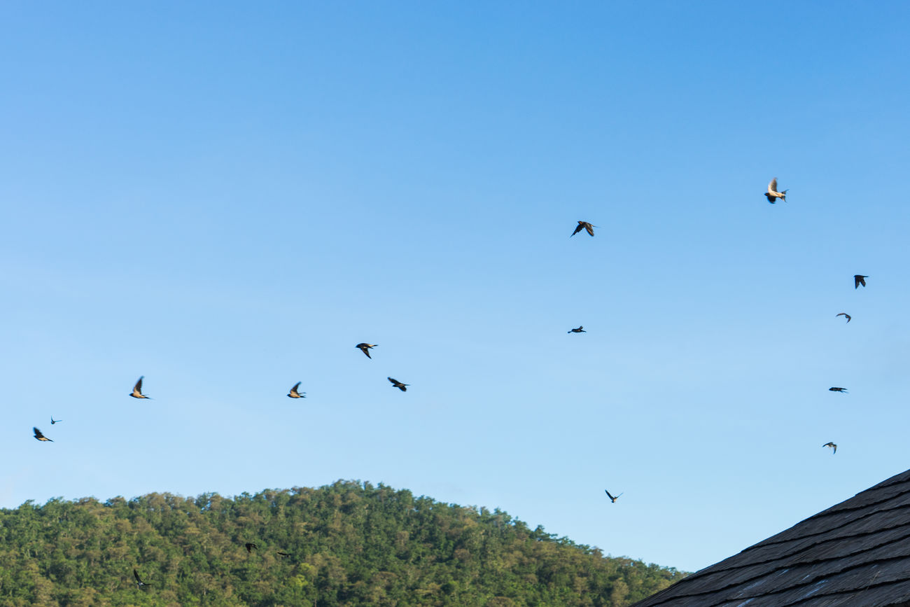 morning birds Animal Themes Animal Wildlife Animals In The Wild Beauty In Nature Bird Blue Chiang Mai | Thailand Clear Sky Day Flock Of Birds Flying Low Angle View Mae Ngat Mid-air Morning Nature No People Outdoors Sky Spread Wings Thai Thailand