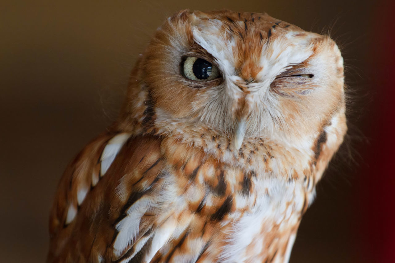 Here's looking at you Animal Themes Beak Bird Bird Of Prey Close-up Day Feathers Hoo-hoo Night No People Nocturnal One Animal Owl Wings Wink Winkingowl