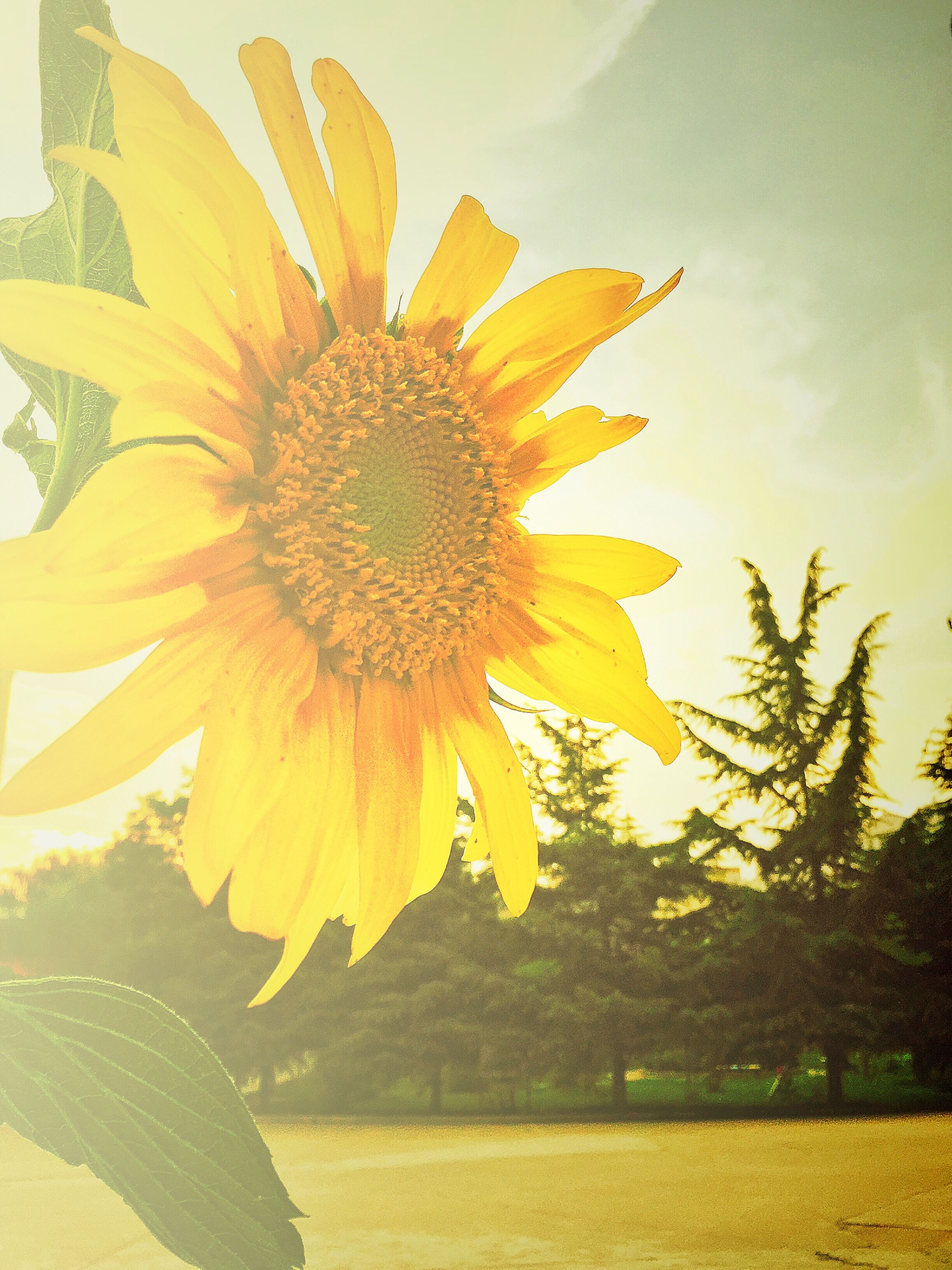 flower, petal, yellow, freshness, flower head, fragility, sunflower, growth, pollen, beauty in nature, blooming, plant, single flower, nature, close-up, in bloom, leaf, focus on foreground, sky, outdoors