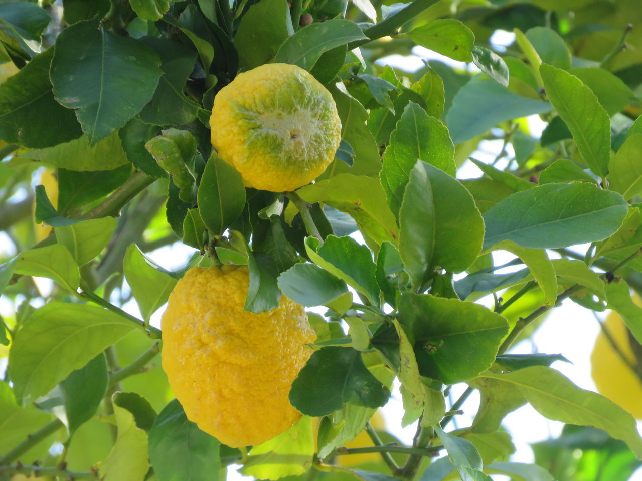 Fruit Lemon Citrus Fruit Lemon Tree Growth Leaf Nature Tree Food Freshness Green Color Close-up Food And Drink Branch Juicy Yellow Agriculture No People Healthy Eating Beauty In Nature Sunny Day Selective Focus Detail Beauty In Nature Focus On Foreground