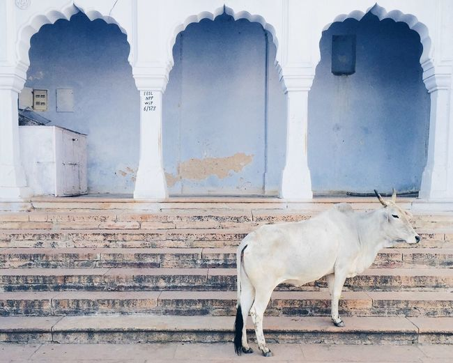 India Rajasthan Pushkar Holly Cow Temple Stairs