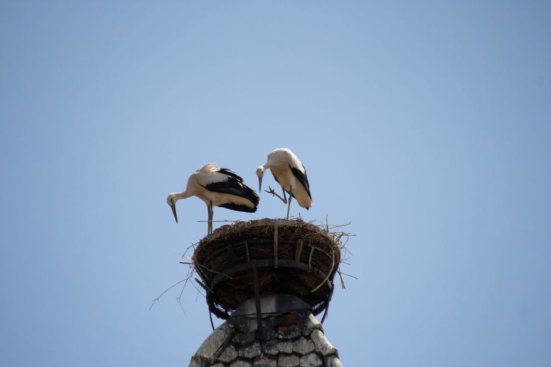 young Storks in the Nest Animal Themes Animal Wildlife Animals In The Wild Bird Bird Nest Bird Photography Birds Of EyeEm  Birds_collection Clear Sky Day EyeEm Birds Low Angle View Nature No People Outdoors Perching Sky Spread Wings Stork Two Animals White Stork Young Animal Young Bird