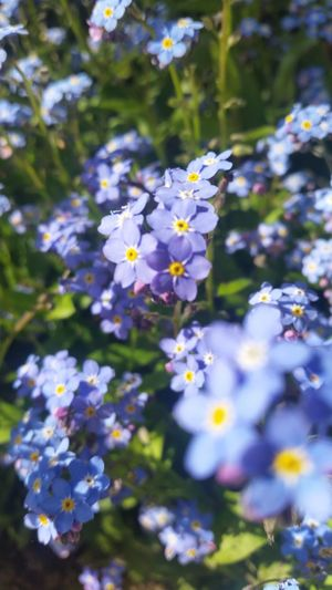 Flower Fragility Plant Petal Nature Selective Focus Purple Day No People Beauty In Nature Outdoors Freshness Growth Multi Colored Close-up Flower Head Glower Themes Forget-me-not Forgetmenot Blue