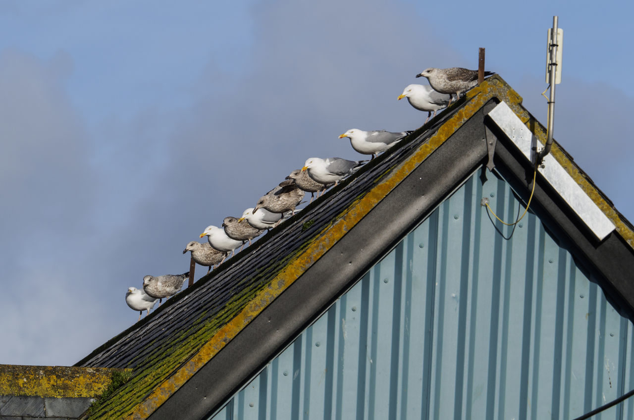 Seagulls wait on a roof in Mevagissey harbour Cornwall Animals In The Wild Bird Cloud - Sky Flock Of Birds Nature No People Perching Roof Seagulls