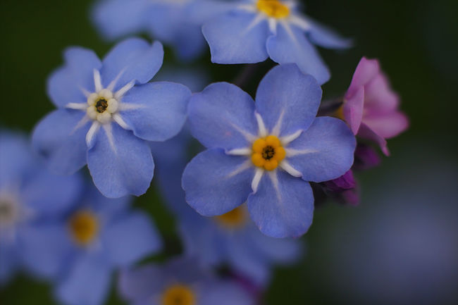 Forget-Me-Not Flower Forget Me Not Forget-me-not Macro Macro Nature Macro Photography Macro_collection Macroclique Wild Flower Wild Flowers