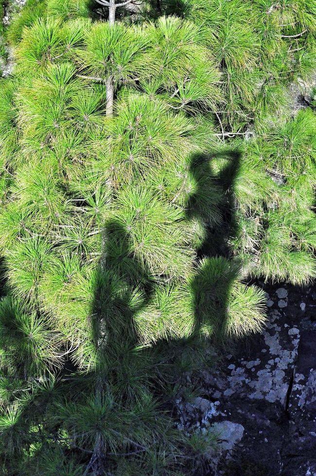 Forest Shadow Canary Islands Gran Canaria