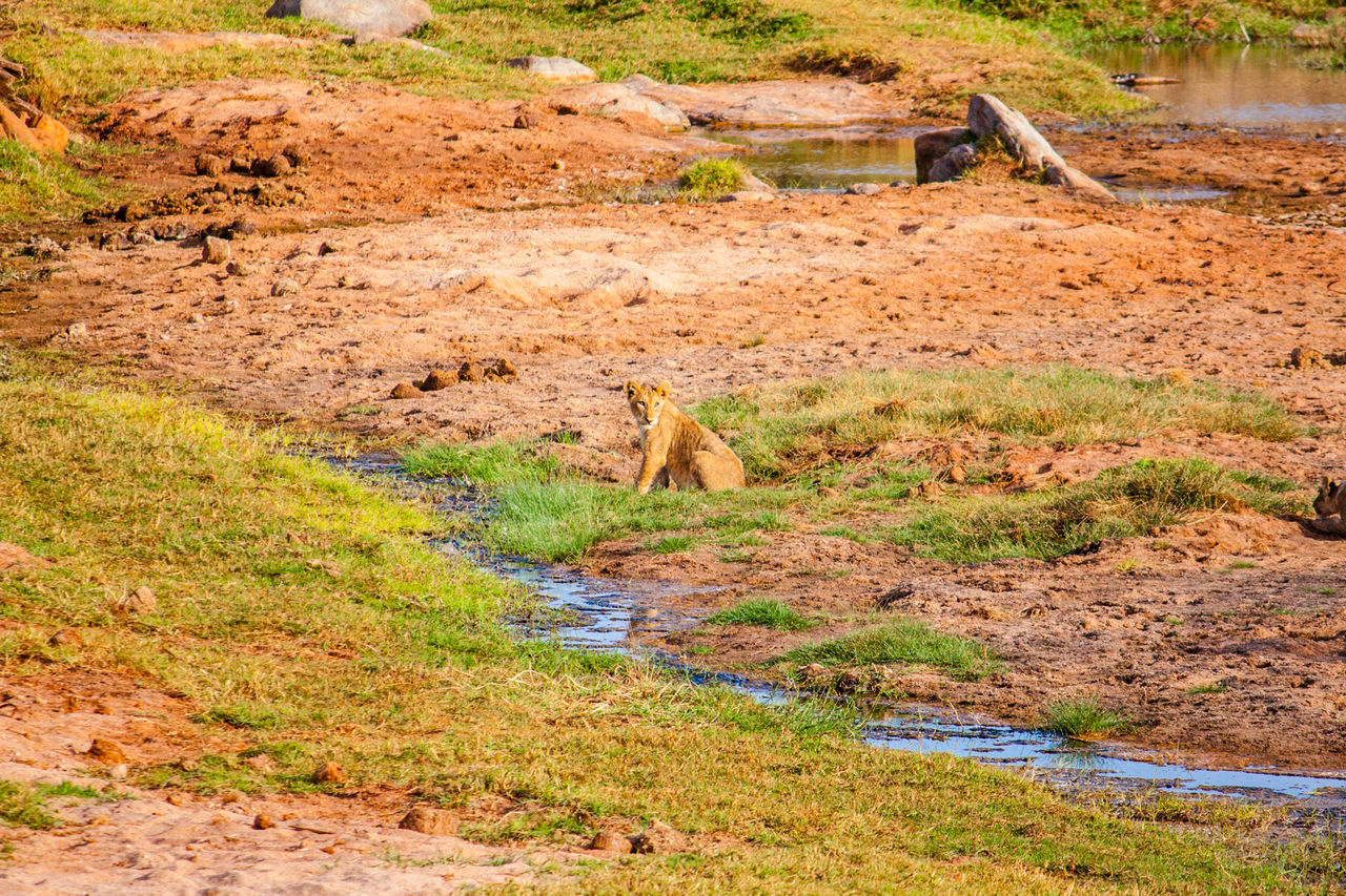 High Angle View Of Lion Sitting On Field