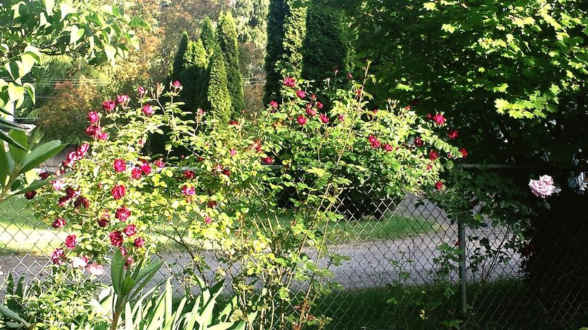 Rose Bush Massive Blooms Plant Flower No People Outdoors Beauty In Nature Tree Pacific Northwest Beauty Garden Photography Red Roses One Pink Rose Mylife EyeEm Flowers Collection Growth Day Nature Eyeem Photography With A Smartphone