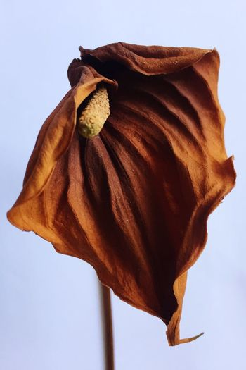 Faded flower Forgotten Past Form Drape Shape Shadow Dried Flowers Dead Flowers Antherium EyeEm Selects Dry No People Close-up Nature Flower Low Angle View Beauty In Nature Fragility Flower Head