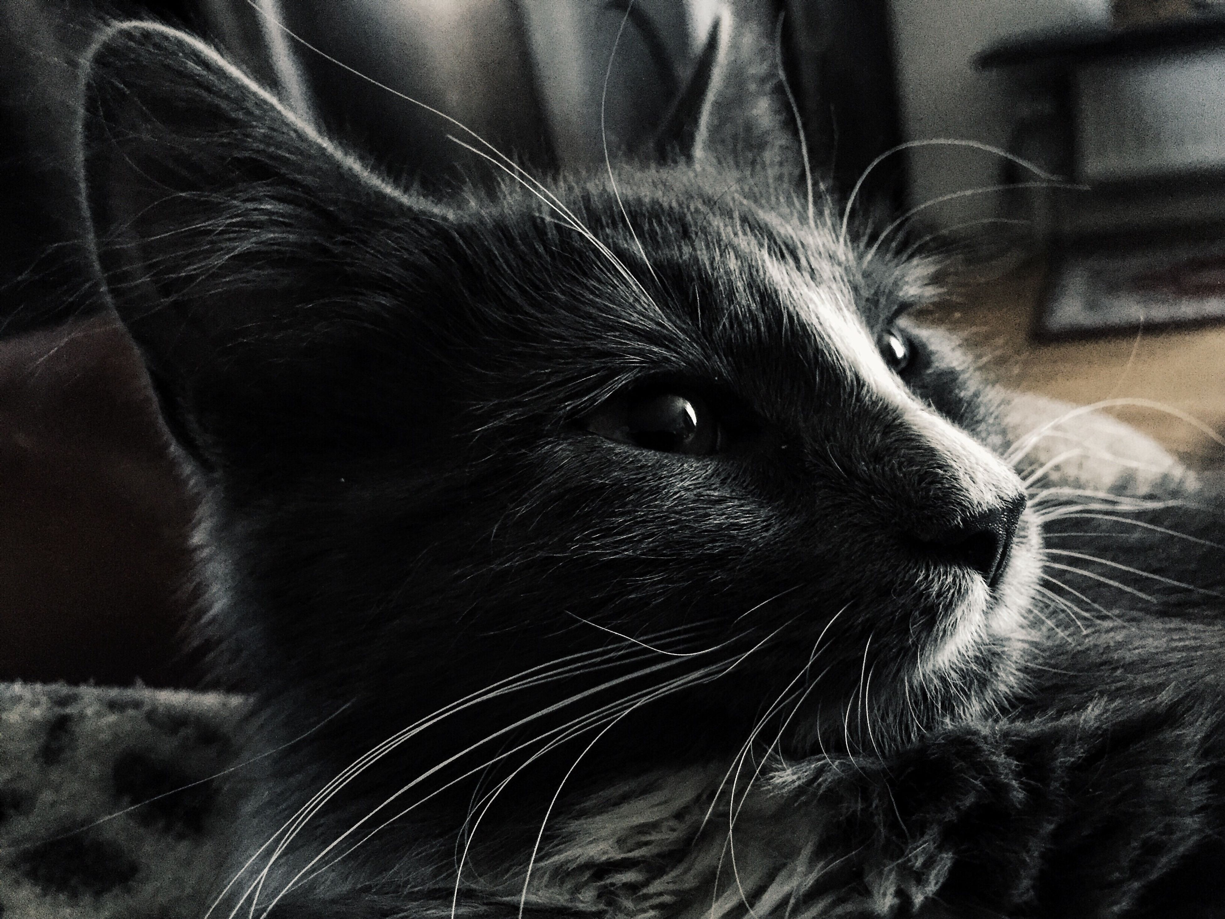 pets, domestic animals, one animal, animal themes, mammal, domestic cat, indoors, cat, close-up, whisker, animal head, feline, relaxation, looking away, no people, animal body part, portrait, black color, focus on foreground, zoology