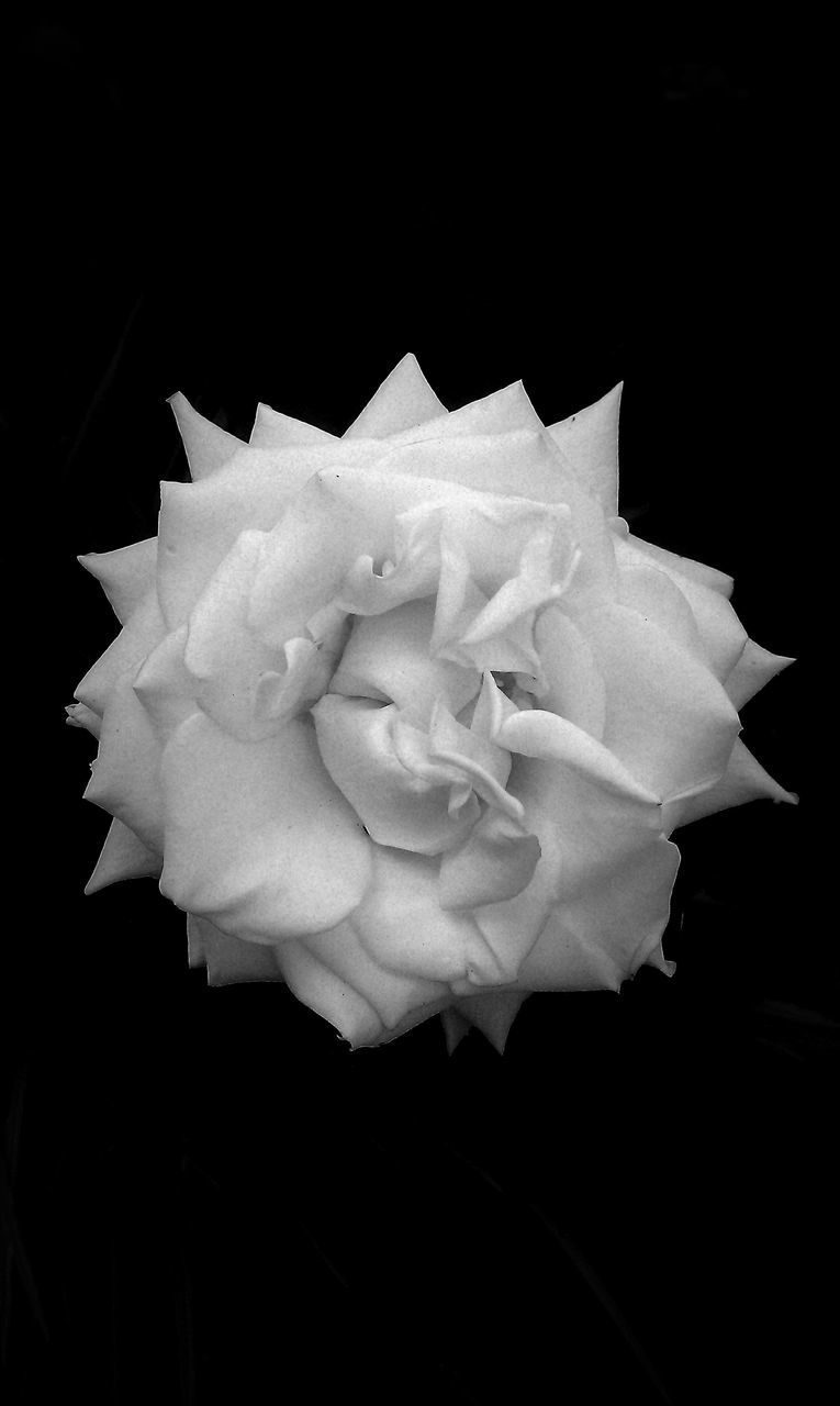 flower, petal, rose - flower, fragility, flower head, studio shot, black background, no people, beauty in nature, nature, paper, close-up, freshness