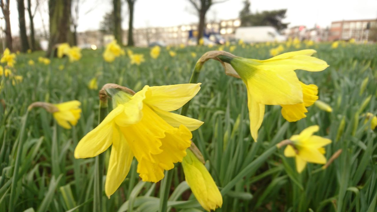 flower, yellow, petal, growth, nature, fragility, beauty in nature, plant, flower head, green color, daffodil, freshness, close-up, outdoors, no people, focus on foreground, day, blooming, springtime