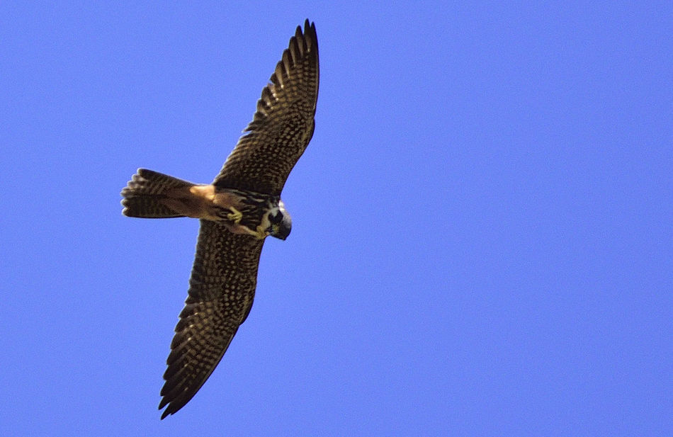 Agile Beauty In Nature Bird Of Prey Bird Of Prey In Flight Bird Photography Birds Of EyeEm  Birds_collection Elegance In Nature Falco Subbuteo Hobby Falcon Low Angle View Nature Nature Photography Nature_collection Perfect Hunter Speed