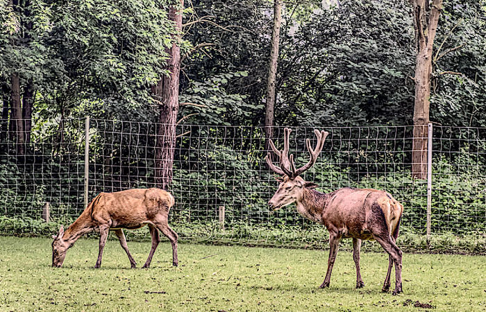 Animal Animal Themes Animals In The Wild Beauty In Nature Damwild Deer Hdrphotography Hirsch Nature No People Outdoors Tree