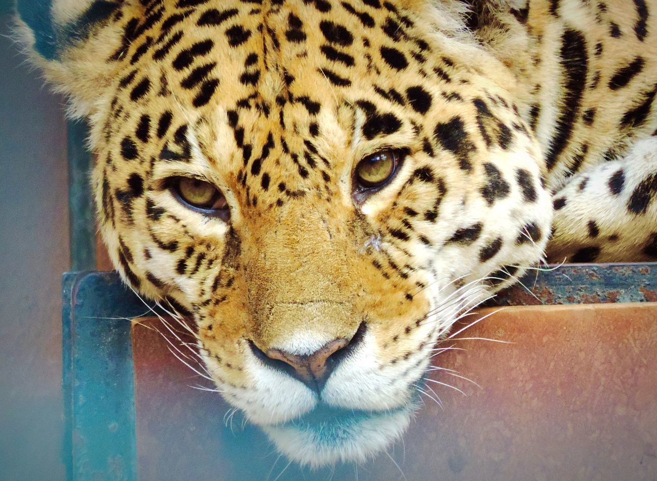 Beautiful stock photos of leopard, Adult Animal, Animal Body Part, Animal Head, Animal Markings