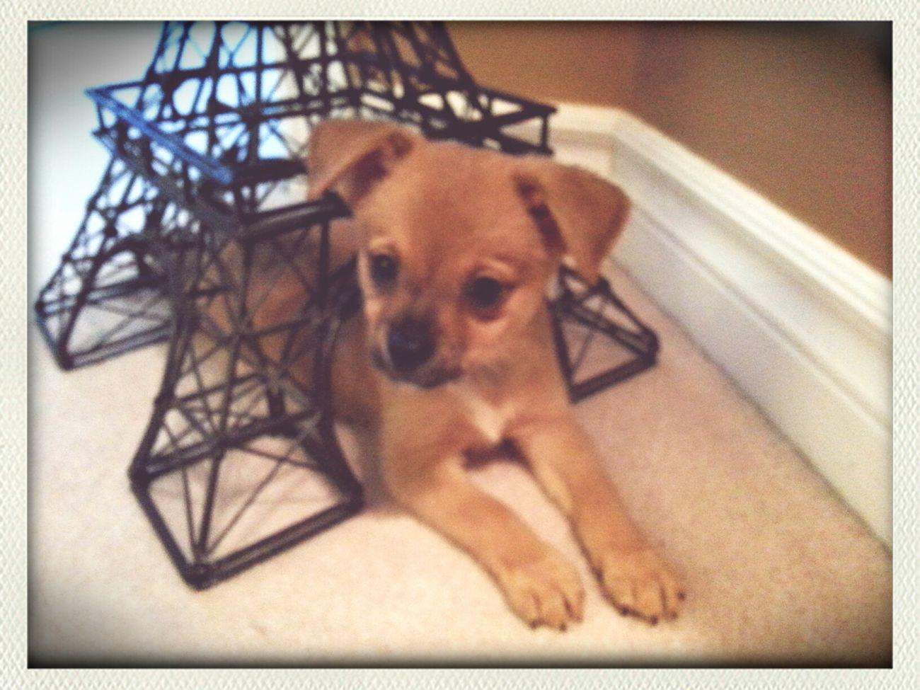 My new little baby Charlie.. Ilovemydog Hi! I Am Way 2 Cute Its A Blonde World
