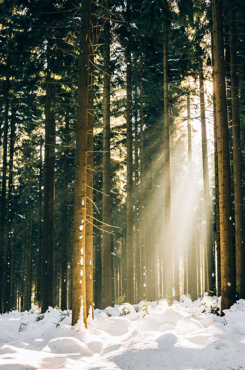 Golden Light Snow Tree Winter Sunlight Beauty In Nature Sunbeam Outdoors Tranquil Scene Idyllic Beauty In Nature Klaquax@home No People Forest