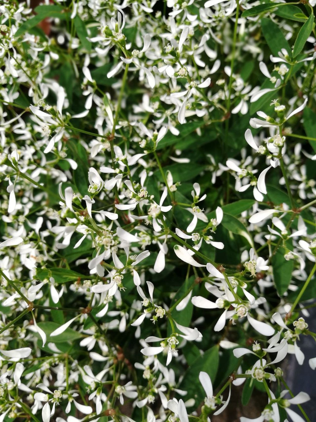 Nature Leaf Growth Plant Outdoors Backgrounds Beauty In Nature Close-up Freshness Flowers White Whiteflowers Tiny Seasonal Planting Garden