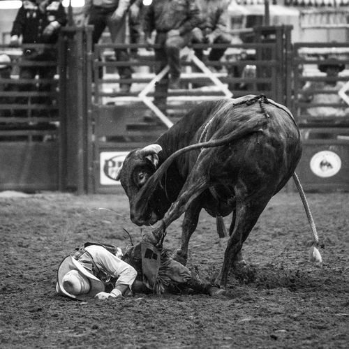 Role reversal Bull Cowboy EyeEmNewHere Rodeo Animal Themes Bull Rider Bull Riding  Bull Riding/rodeo Day Domestic Animals Full Length Mammal No People Outdoors Role Reversal Black And White Friday