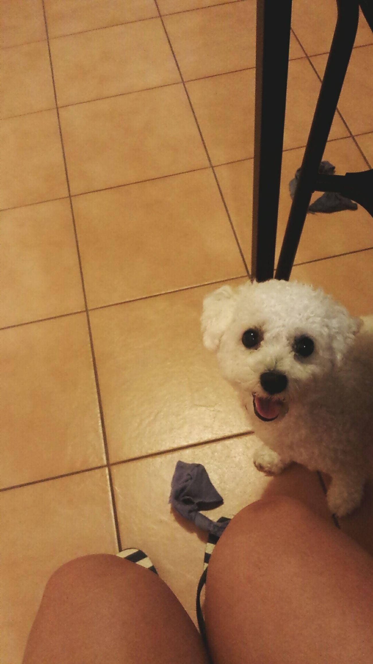 Little Doggie Bichonfrise Bichon :)